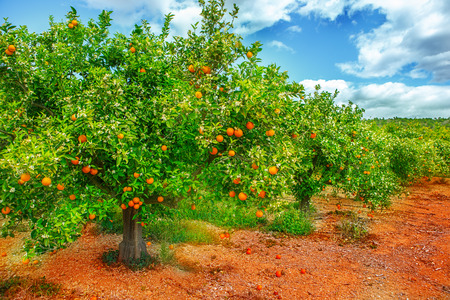 Orange tree with ripe fruit and flowers on