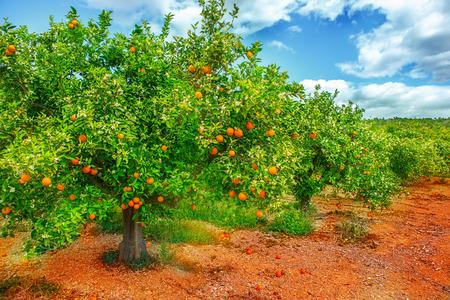 naranja arbol: Árbol anaranjado con las frutas maduras y flores en Foto de archivo