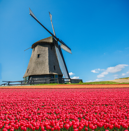 noord: Old Dutch windmill and tulip field in the foreground, on a spring sunny day, in North Holland province