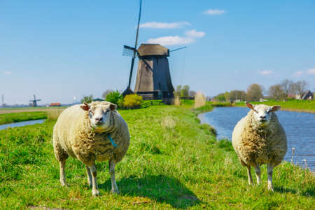 dyke: Sheep grazing near a dyke in the Netherlands on a sunny spring day Stock Photo