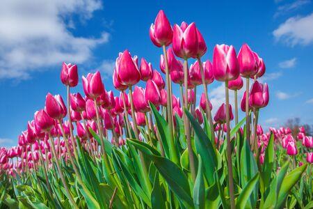 Roze en witte tulpen schoot vanaf de naar beneden, tegen blauwe hemel, op een zonnige lente, in de provincie Noord-Holland