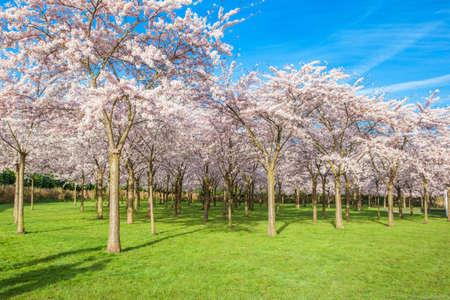 romance sky: Cherry trees park in blossom Stock Photo