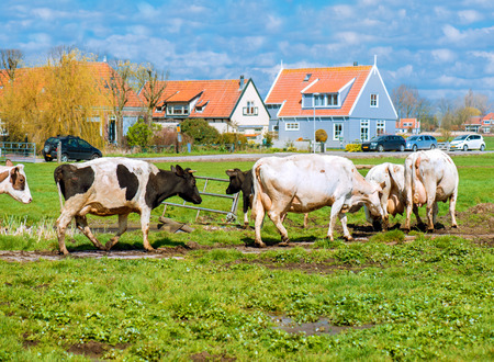 Cows on a sunny field with green grass  near a village  Foto de archivo