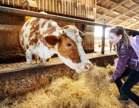Child at an organic milk farm feeding a cow with hay