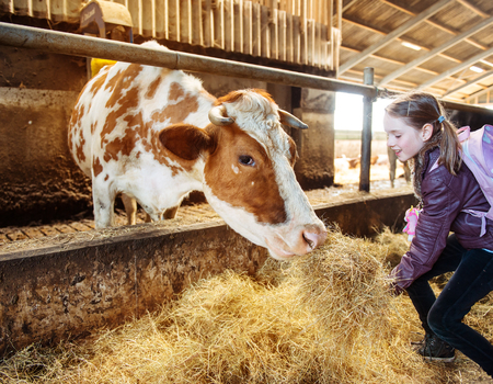 Child at an organic milk farm feeding a cow with hay