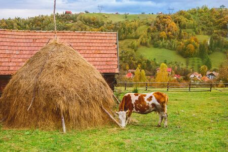 Autumn rustic landscape with a cow eating grass  in Carpathian mountains,  Transylvania, Romania Foto de archivo