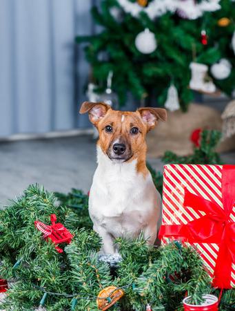 Jack Russel dog near Christmas tree