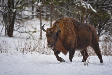 Wild European bison