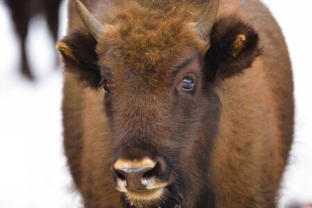 Large brown wisent in the winter forest. Wild European brown bison (Bison Bonasus) in winter. European wisent in natural habitat. Young bison.