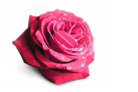 dearness: Purple rose on the white isolated background Stock Photo