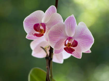Pink orchids on a blurred background. Stock Photo