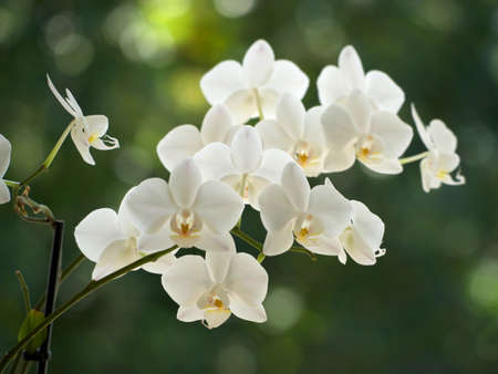 White orchids on a blurred background.