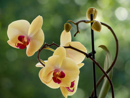 Yellow orchids on a blurred background. Stock Photo - 87275617
