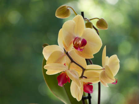 Yellow orchids on a blurred background.