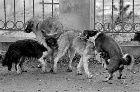 Mating of dogs. A black and white grainy image shot on film. Mates four 4 dogs at the same time. Yard slabs on the street. Outdoor