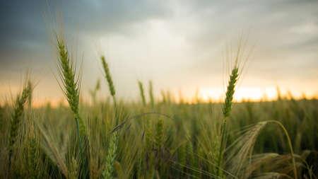 cosechadora: Espiguillas de trigo en un campo con grano, sobre un fondo de gris, azul, nubes de tormenta, verano. La lluvia veniente viene.