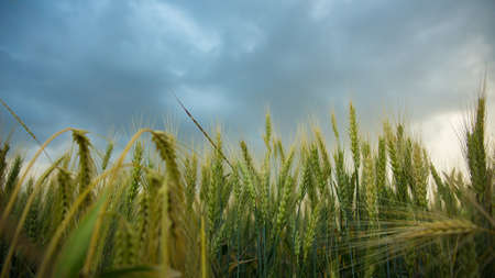 Spikelets of wheat in a field with grain, against a background of gray, blue, storm clouds, summer. The pouring rain is coming. Stock Photo