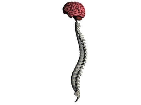 lobes: Brain and spine lateral graphic on white background