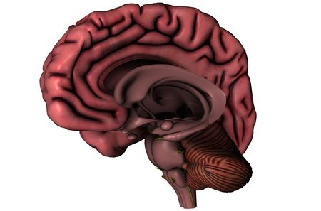 Human brain sagittal hemispheric view 3D graphic with deep brain structures on white background