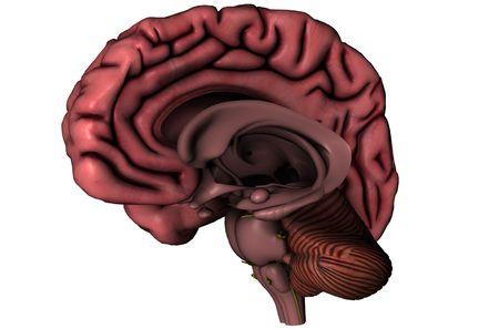 Menselijk brein pijlachtig hemisferisch 3D grafische weergave met diepe hersenen structuren op witte achtergrond