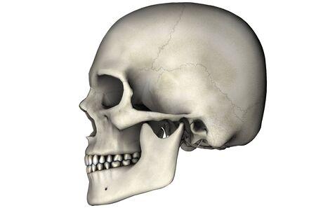 Menselijke schedel laterale anatomische weergave 3D-afbeelding op witte achtergrond  Stockfoto