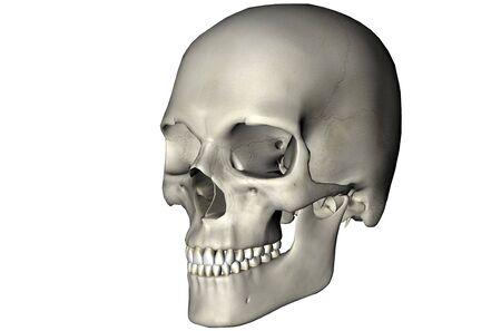 Menselijke schedel schuine anatomische weergave 3D afbeelding op een witte achtergrond