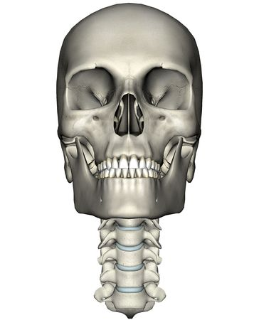 Human skull and cervical spine (neck) anterior anatomical 3D illustration on white background