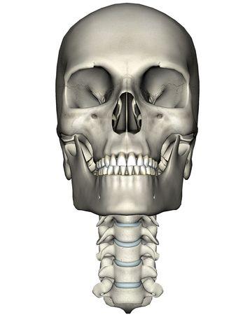 Menselijke schedel en de cervicale wervelkolom (nek) anterieure anatomische 3D illustratie op witte achtergrond