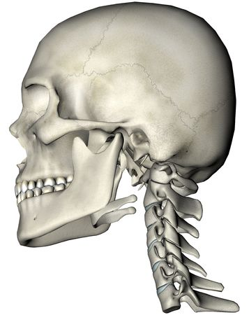 lobes: Human skull and cervical spine (neck) lateral anatomical 3D illustration on white background Stock Photo
