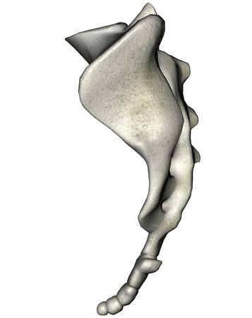 coccyx pain: Human sacrum lateral anatomical 3D illustration on white background Stock Photo