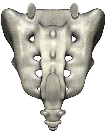 herniated: Human sacrum posterior anatomical 3D illustration on white background Stock Photo