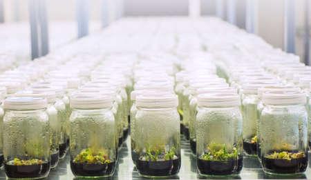 tissue culture: experiment of plant tissue culture in the laboratory