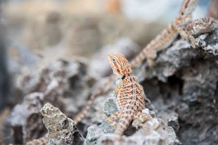 domestico: Bearded Dragon Agama Lizard on stone