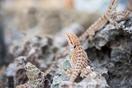 poser: Bearded Dragon Agama Lizard on stone