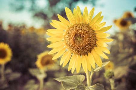 Sun flower add vintage color