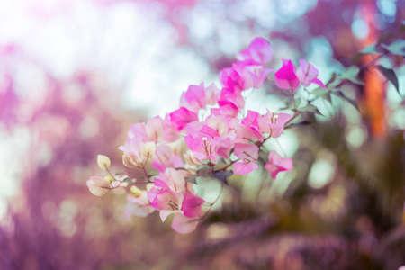 color bougainvillea: Pink bougainvillea flowers add vintage color Stock Photo