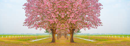 rosy: Beautiful Tabebuia rosea tree or pink poui, and rosy trumpet tree  pink flower blooming in garden