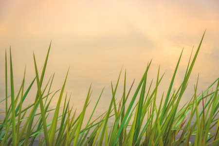 resound: Beautiful Abstract Green Grass flowers on Riverside Stock Photo