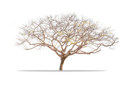 Giant Leafless tree isolated on white background