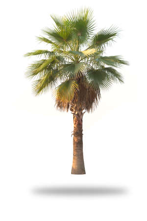 tropical evergreen forest: Palm tree isolated