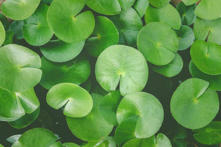 Green lotus leaves, water lily leaves, Dark Green leaves texture Stock Photo