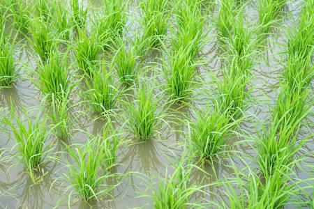 transplanted: Transplanted rice fields
