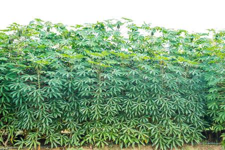 raíz de planta: campo de la mandioca o yuca planta
