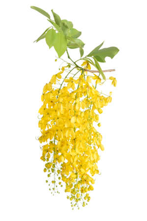 Golden Shower Tree on white background 스톡 콘텐츠