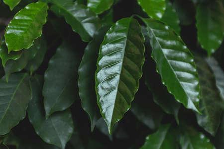 Closeup Green Leaves Coffee Tree