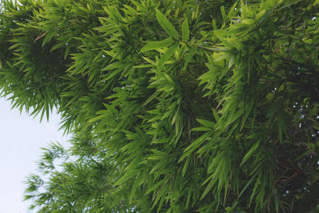 Beautiful Green Bamboo  forest Banque d'images