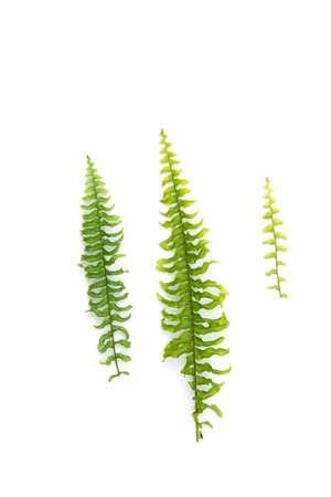 Green leaf fern isolated on white