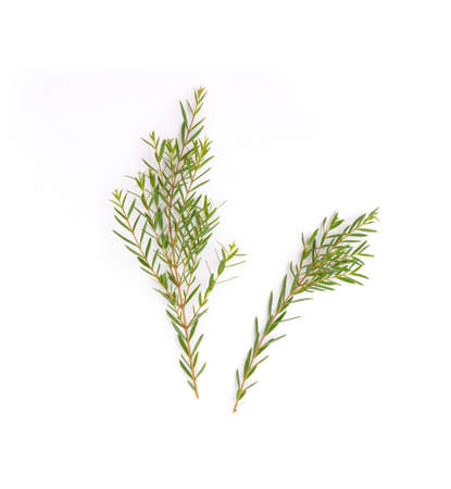 Melaleuca linariifolia Claret Tops  leaf isolated on white Banque d'images