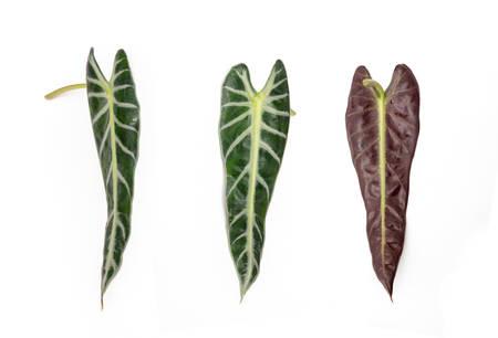 Arrowhead Plant Leaf isolated on white