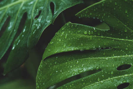 Close-up water drop on Monstera or Swiss Cheese leaves Banque d'images